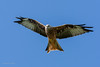Red Kites 01-Sept-17  G 007 (gomo.images) Tags: 2017 bird country dumfriesandgalloway nature redkites scotland years
