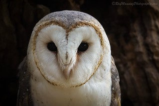 Portrait of a Barn Owl - It's hard not to adore this heart shaped face with black marble eyes. Healesville Sanctuary, Victoria Australia          #Australia #BarnOwl #BirdPhotography #Birds #BirdsofPrey #CommonBarnOwl #Fauna #Nature #NaturePhotography #Ow