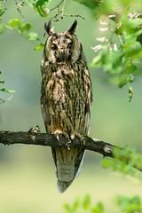Gufo comune-Long eared owl.Tra luci e ombre. (Riccardo Bocconi.) Tags: