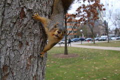 176/365/3463 (December 4, 2017) - Autumn Squirrels in Ann Arbor at the University of Michigan (December 4th, 2017)