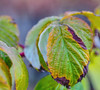 Raspberry leaves (piranhabros) Tags: leaf leaves fall december raspberry cane fruit bokeh
