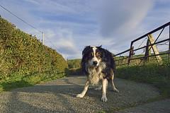 I gotcha. (Mike & Indy) Tags: laddie bordercollie dog dogs llanfairfechan anniversary