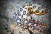 Blue-ringed Octopus (Hapalochlaena lunulata) (Randi Ang) Tags: blueringed octopus blueringedoctopus blue ring blueringoctopus gili air lombok islands island indonesia underwater scuba diving dive photography macro randi ang canon eos 6d 100mm randiang giliislands giliair