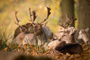 Brothers (Rob Blight) Tags: fallow stag stags deer buck wild wildlife nature forest creature mammal fauna herd nikond850 d850 200500 200500mm richmondpark london autumn autumnal hirsche damhirsche