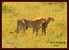 FEMALE CHEETAH WITH HER CUB (Acinonyx jubatus).....MASAI MARA....SEPT 2017. (M Z Malik) Tags: nikon d800e 400mmf28gedvr kenya africa safari wildlife masaimara keekoroklodge exoticafricanwildlife exoticafricancats flickrbigcats cheetah cheetahfamily ngc npc