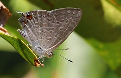 Speckled line-blue  – Catopyrops florinda estrella (4) (Richard Collier - Wildlife and Travel Photography) Tags: wildlife naturalhistory australia insects austral butterflies speckledlineblue catopyropsflorindaestrella coth5 naturethroughthelens