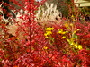 On the first day of November (arrowlakelass) Tags: barberry fall colours garden rudbeckia red yellow p1150391