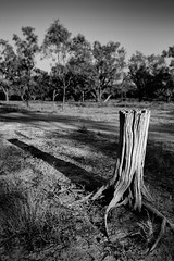 PETRIFIED (scatrd) Tags: outbacknsw shadow treestump nikon mynikonlife australia holiday nsw landscapephotography 2017 travelphotography travels northbourke newsouthwales jasonbruth country afsnikkor2470mmf28eedvr landscape d810 outback nikond810 au