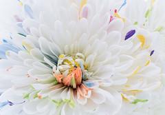 Confetti Mum (Sandyp.com) Tags: chrysanthemum mum flower sonyalpha sonya7rii macro closeup topazsoftware