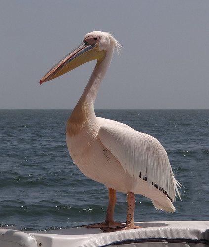 085a DSC09174c Great White Pelican, Walvis Bay, Namibia. 2017 10 27