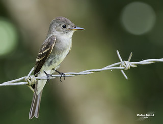 Contopus cooperi- OLIVE -SIDED FLYCATCHER