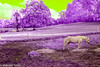 Alien Horseworld (M C Smith) Tags: horse purple green sky grass trees horses landscape alien surreal nikon d80 fence slope hill hay