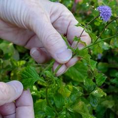 *Mentha x piperita, PEPPERMINT. (openspacer) Tags: jasperridgebiologicalpreserve jrbp lamiaceae leaf lowflowcrossing mentha nonnative peppermint riparian