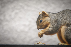 Dinner Time (toddarbini) Tags: animal squirrel food nature nikon nikond810