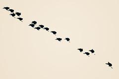 Siesta de altura (High Nap) (LL Poems) Tags: birds mono spain europe abstract blanco negro monocromático diagonal abstracto profundidad campo textura minimalismo sky high key clave alta tejuelo y fondo aire libre highkey llpoems minimalism