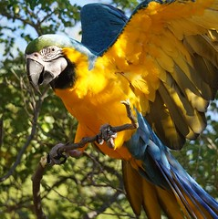 Honey 59 (ChrisF Photography) Tags: macaw blue gold parrot exotic tree outdoors beautiful adorable animal bird leaves green nature