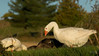 Domestic Goose (Keztik) Tags: nikon d3200 oie blanche domestique domestic goose bird oiseau white animal