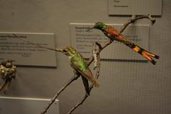 Chicago, IL - Grant Park - Field Museum - Hummingbirds (jrozwado) Tags: northamerica usa illinois chicago museum fieldmuseum naturalhistory grantpark bird hummingbird taxidermy diorama