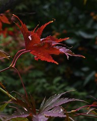 Fall Color (richardserra63) Tags: leaf leaves home nature red contrast lx5 panasonic fall color yard tree