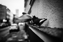Neighborhood Watch 89.365 (ewitsoe) Tags: street ewitsoe birds monochrome bnw blackandwhite pigeons city walk home jezyce canon eos6dii sigma 20mm streetscene life flight fly pest waiting