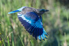 Indian Roller Flying (Barbara Evans 7) Tags: indian roller flying kasiranga national park assam india barbara evans7