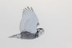 Snowy Owl, female (Glenn R Parker) Tags: owls snowyowls