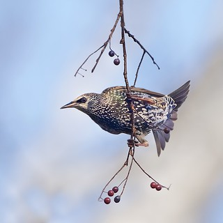Starling and the Berries