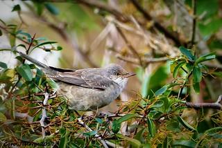 Barred Warbler