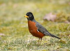 American Robin (av8s) Tags: americanrobin robin birds songbirds perchingbirds nature wildlife pennsylvania pa photography nikon d7100 sigma 120400mm