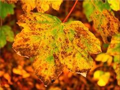 Autumn leaves (Ostseetroll) Tags: deu deutschland geo:lat=5418652362 geo:lon=1064330795 geotagged kirchnüchel schleswigholstein ukleisee herbst herbstfarben autumn autumnleafcolours makroaufnahme macroshot