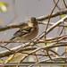 Chaffinch (Fringilla coelebs)