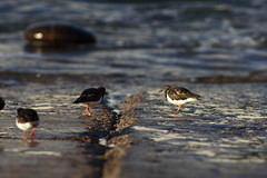 Vuelvepiedrucas (alexgonzalezsantander) Tags: canon tamron60b adaptall2 300mm vuelvepiedras turnstone agua water pajaros aves arenaria birds
