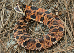 Eastern Hognose Snake (Nick Scobel) Tags: eastern hognosed hognose snake heterodon platirhinos florida central sandy xeric upland lake wales ridge puff adder blow pattern orange red texture