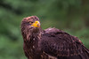 Juvenile Bald Eagle (Saptashaw Chakraborty) Tags: canada quebec parcomega canon 6d sigma 150600contemporary bird birds zoo baldeagle juvenile