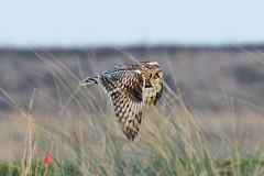 _W4A1499 Short-eared Owl (Asio flammeus) (ajmatthehiddenhouse) Tags: kent worthmarshes uk 2017 bird asioflammeus asio flammeus shortearedowl