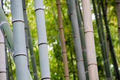 Arashiyama Bamboo Forest (EwanHarris) Tags: japan kyoto imperial palace nijo castle bamboo arashiyama forest tree trees japanese fushimi inari kinkaku ji golden temple kanji