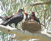 Corcorax melanorhamphos 13 (barryaceae) Tags: australian national botanic gardens canberra bird birds aves australianbirds ausbirds ausbird whitewinged chough corcorax melanorhamphos