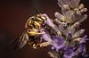 lavender (MecaEPT) Tags: meca macro bumblebee hymenoptera insect arthropod animal nature lavender