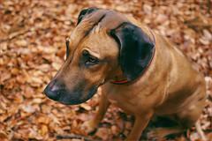 Pensive. The one and only. (Gudzwi) Tags: hund dog porträt portrait wald forest blätter leaves blur unschärfe autumn herbst harz braun brown 7dwf 7dwfsundaysfauna fauna animal tier rhodesianridgeback