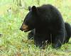 Black Bear 7  11-8-17 (Cal-Photo) Tags: wildlife nature tennessee greatsmokymountains cadescove blackbear