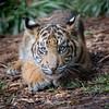 DC (ToddLahman) Tags: dc tiger tigers tigertrail tigercub sandiegozoosafaripark safaripark sumatrantiger babysumatrantiger mammal male beautiful outdoors portrait canon7dmkii canon canon100400 closeup escondido eyelock exhibita