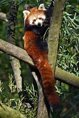 Roter Panda (Michael Döring) Tags: gelsenkirchen bismarck zoomerlebnsiwelt zoo goldeneroktober roterpanda afs200500mm56e d7200 michaeladöring