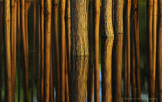 Flooded Pines