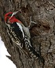 Red-breasted Sapsucker ~ (Sphyrapicus ruber) (Joyce Waterman) Tags: sphyrapicus ruber redbreasted sapsucker tree woodpecker red