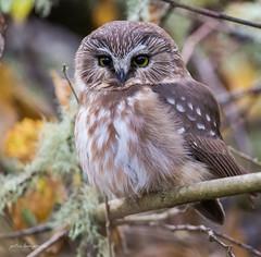 Northern Saw-whet owl (Peter Bangayan) Tags: owls wildlife washington wildlifephotography natures birds canon ef500mmf4lisusm smallbirds snowy owl