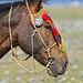 Horse Champ Khovd Mongolia DSC_5508