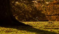 Had enough (smcnally24601) Tags: deer surrey morning autumn fall nature sunny england english britain british