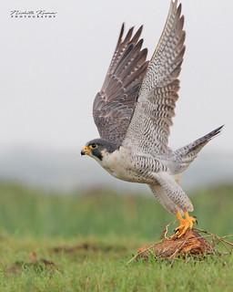 Peregrine Falcon..