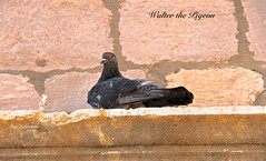 """JE SUIS un PIGEON VOYAGEUR MAIS LÀ ... JE SUIS """"WALTER PIGEON"""" (guylafortune) Tags: animal plumes ailes queue mur pierre bird feathers wings wall stone autumne autumn oiseau walter pigeon voyageur traveler closeup macro relax relaxing repos repose corniche"""