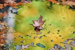 soupe automnale (rondoudou87) Tags: pentax k1 smcpda300mmf40edifsdm automne autumn autumnleaves couleur color eau water reflection reflexion reflet feuille feuillage leaves leaf vert green jaune yellow nature natur